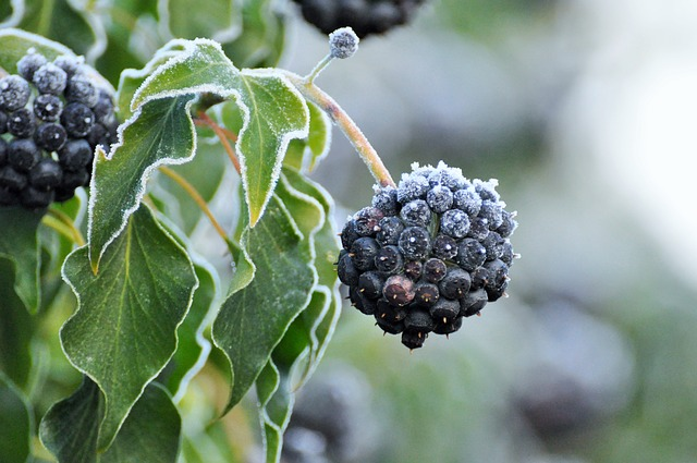Picture of blackberry in winter frost