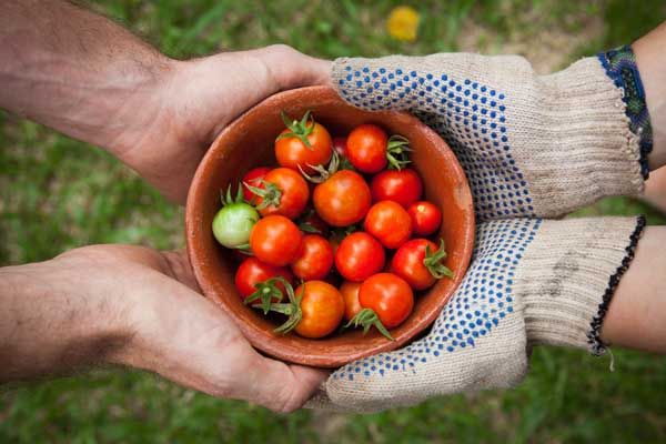 Growing Tomatos